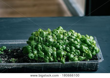 Thickly sown Seedlings Basilica One month's motes organic texture of fresh greens. Concepts of Vocal Organic Nutrition