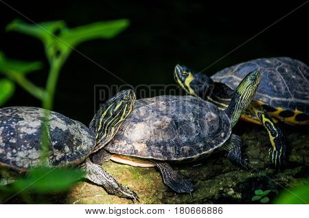 Photo of yellow headed California Turtles. The yellow-bellied slider is a land and water turtle belonging to the family.
