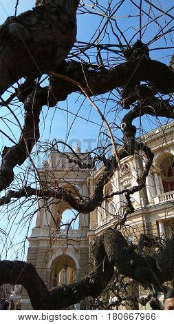 Behind the big branches of the tree you can see the beautiful Odessa Opera House