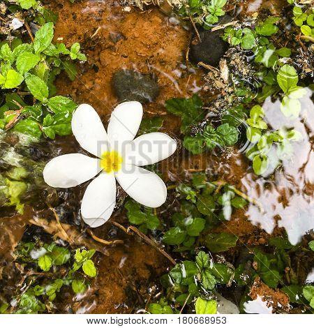 Frangipani or Plumeria flower captured on bright sunny raining season