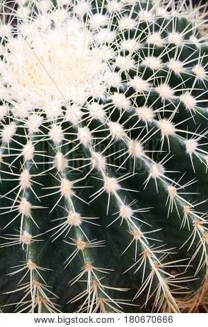 A close up of a large, round cactus plant showing rows of prickly thorns in detail.
