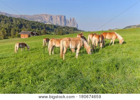 Herd of Haflinger horses grazing on idyllic alpine meadow at sunny morning in the Dolomites Italy.