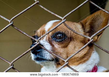 Chihuahua is trapped in a cage looking Closed up eye