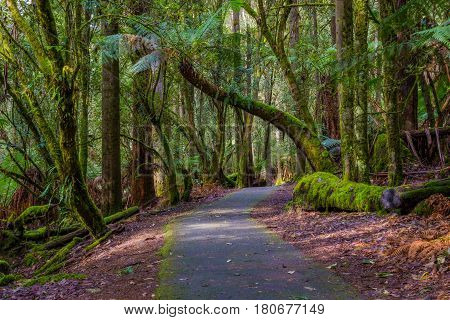 A path leads through lush forest in Mount Field National Park, Tasmania, Australia.