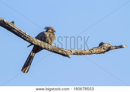 Grey go-away bird in Kruger national park, South Africa ; Specie Corythaixoides concolor family of Musophagidae