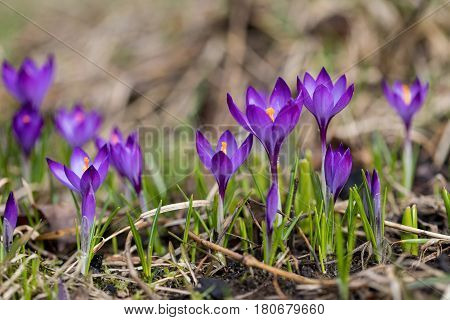 Purple crocus flowers in the early spring garden