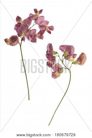 Pressed and dried lathyrus vernus. Isolated on white background. For use in scrapbooking pressed floristry (oshibana) or herbarium.