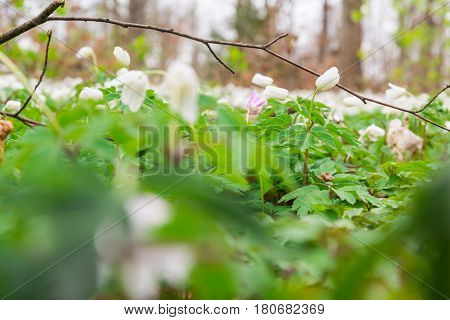 Small White Ground Covering Flowers Green Leaves Dense Macro Depth Of Field Forest