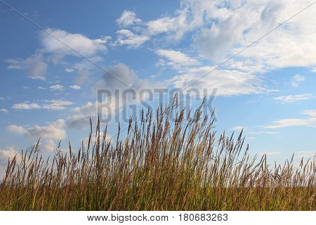 Spikelets and blue sky with white fluffy clouds, background