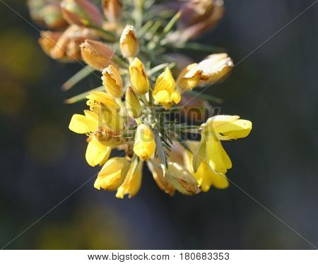 Calicotome spinosa thorny broom or spiny broom