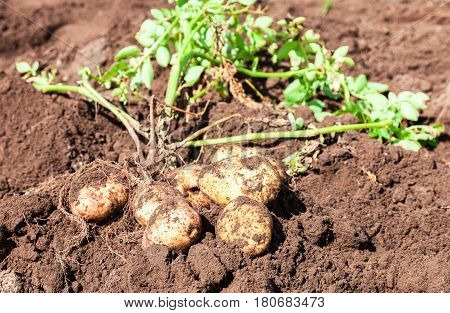 Freshly dug organic potatoes on the field in sunny summer day