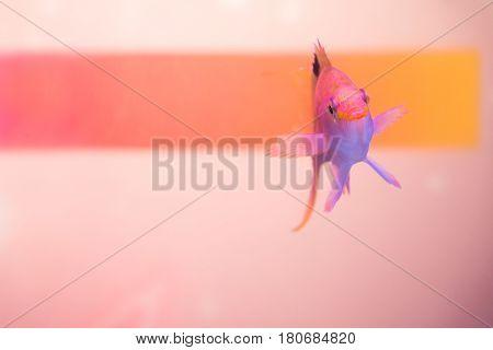 Close up shot of pink anthias fish