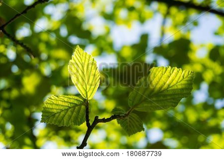 Close-up of light flooded green leaves in spring