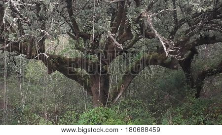 Creepy tree with hanging brambles in a Portuguese Forest