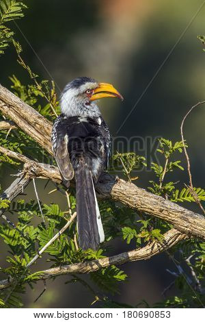 Southern yellow-billed hornbill in Kruger national park, South Africa ; Specie Tockus leucomelas family of Bucerotidae