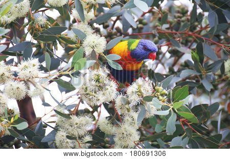A beautiful Rainbow Lorikeet sitting in a tree