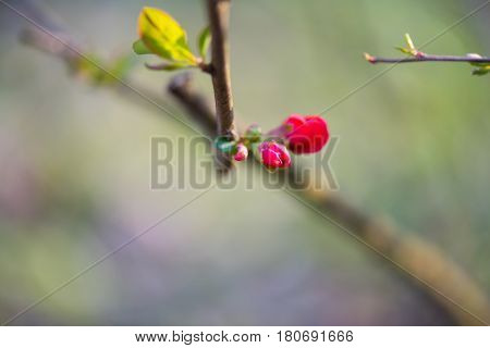 Beautiful red bud, burgeon captured in the spring