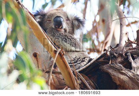 A cute koala sleeping in a tree in south of Australia
