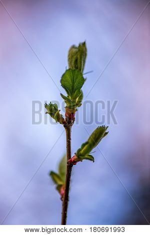 Beautiful burgeon , bud isolated with the sky on the background