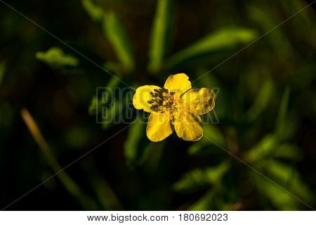 Beautiful yelow flower , Anemone ranunculoides in nature