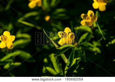 Beautiful yelow flower , Anemone ranunculoides in spring