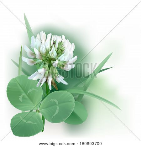 White Clover - Trifolium. Hand drawn vector illustration of a white clover flower and leaves mixed with grass blades, on white background.