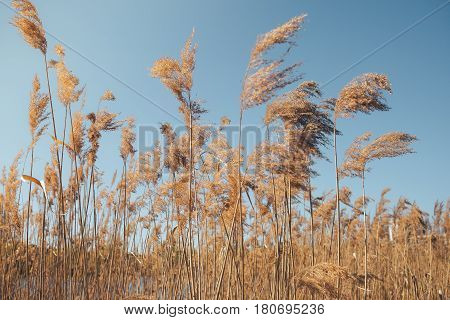the reeds near the lake in the spring