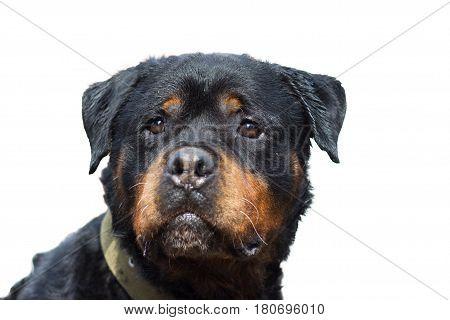 Rottweiler dog portrait close-up isolated on white