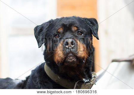 Dog of the Rottweiler breed close-up portrait