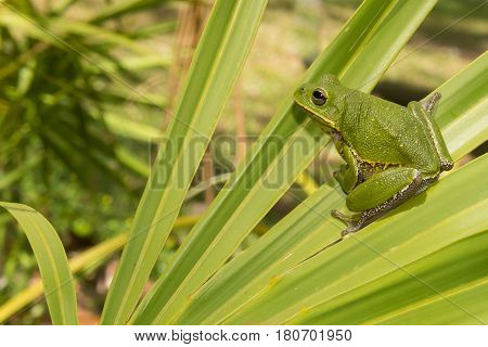 A Barking Tree Frog crawling over a saw palmetto