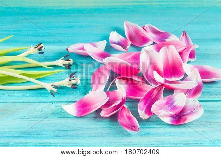 Withered Pink Tulips With Fallen Petals On A Blue Wooden Background