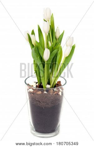 Bouquet of white Tulips in transparent glass flower-pot