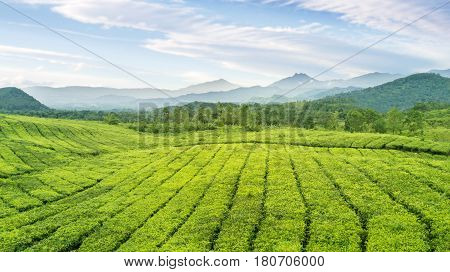 Aerial view of tea plantation at Subang highlands West Java - Indonesia