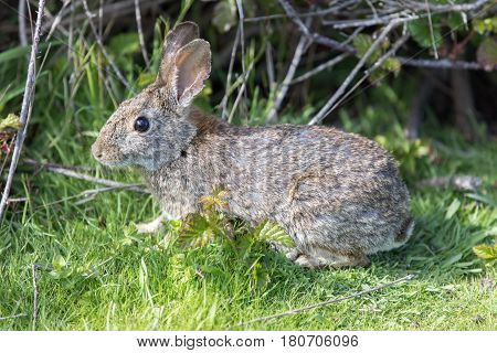 Alert Cottontail Rabbit (Sylvilagus). San Bruno State Park, San Mateo County, California, USA.