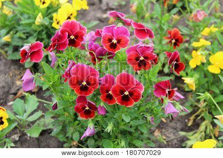 Beautiful Pansy Flowers