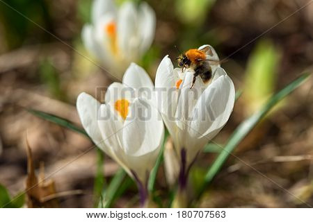 bumblebee on the first spring flowers white snowdrops in the forest illuminated by sunlight