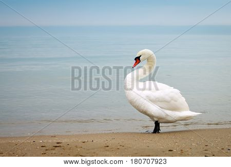 White swan walking along the seashore during the day