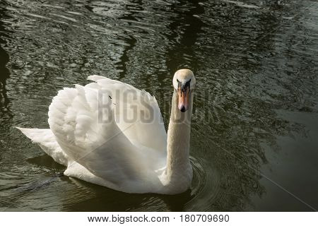 Single Mute Swan On River Great Ouse In Bedford, England