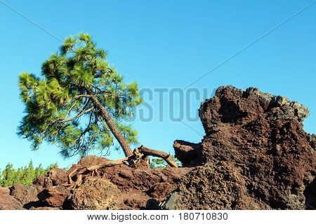 Pine growing on the rocks in the Teide national park, Spain. Roots cling to the rocks. Blue sky in the background. No people