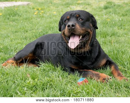 Head shot of Rottweiler . Selective focus on the dog