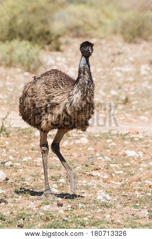 Close Up Image Of An Emu Walking In Nature