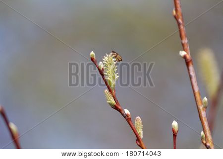 Fly sits on a branch with bud buds. Nature