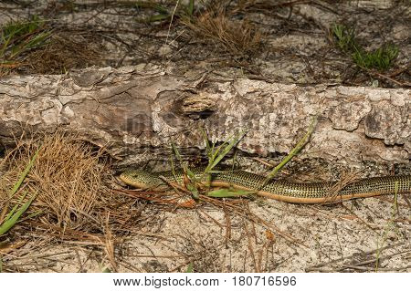 An Eastern Glass Lizard crawling out from a log