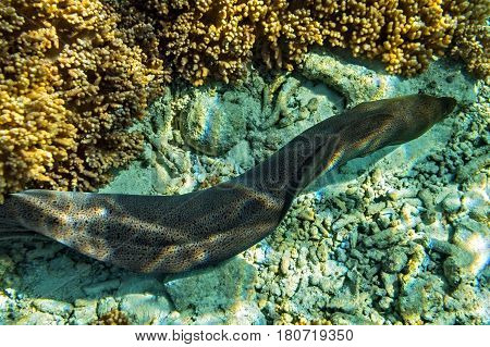 Moray eel is on coral reef Maldives The Indian Ocean
