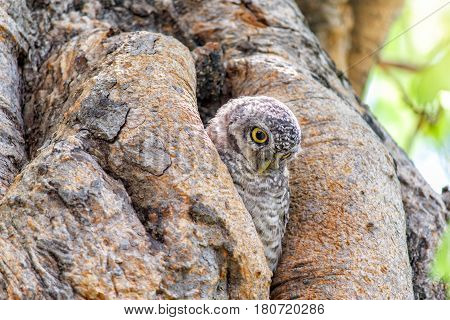 Little owl (spotted owlet) in a hollow tree