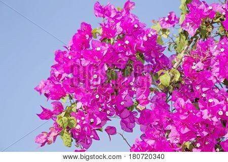Bunch of the pink Bougainvillea flower over blue sky