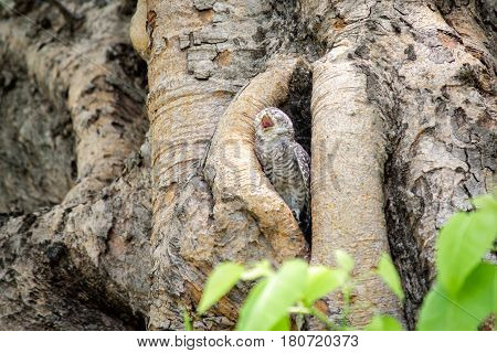 Little owl (spotted owlet) yawning in a hollow tree