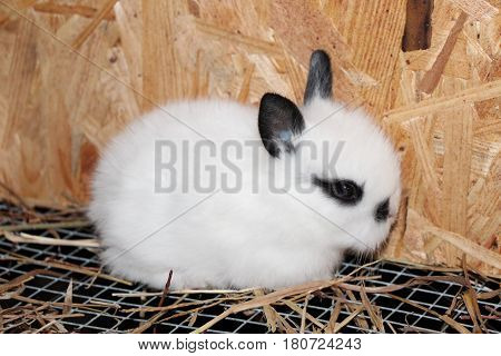 Female Baby Lionhead Rabbit in Its Cage