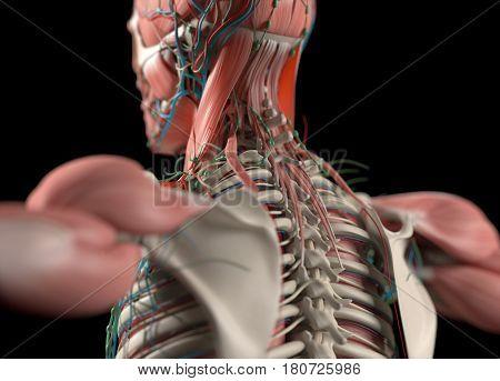 Human anatomy spine, back and scapula. 3d illustration