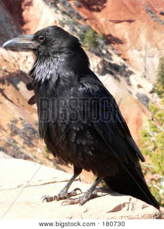 Raven At Bryce Canyon